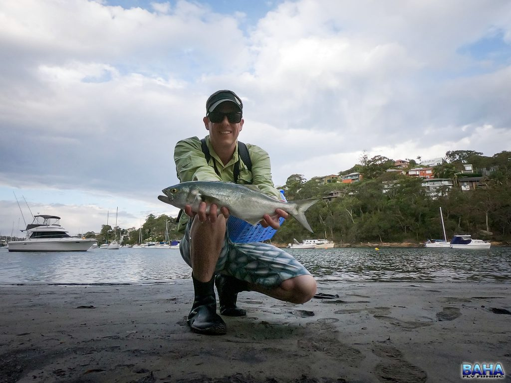 A nice tailor caught on fly in the Willoughby Creek Bay.