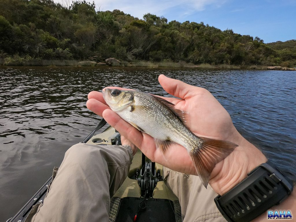 A small Australian bass caught at Manly Dam