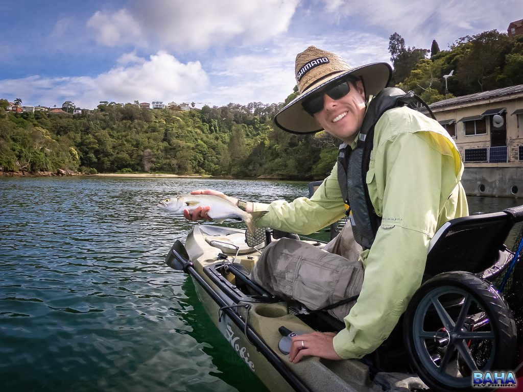 A small tailor caught fly fishing off my kayak in Middle Harbour