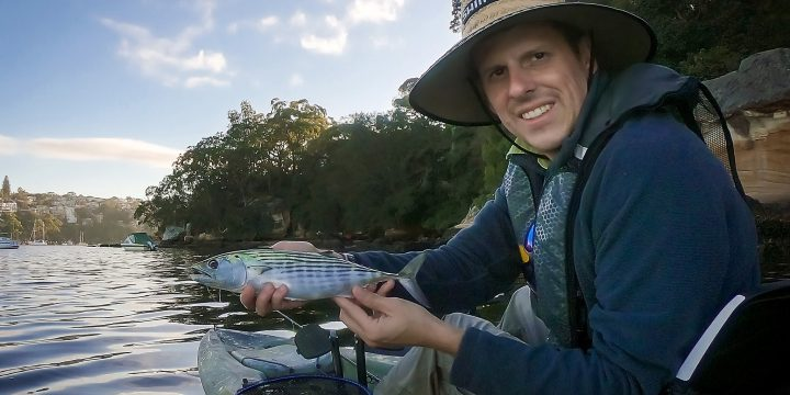 Bonito on Fly in Middle Harbour