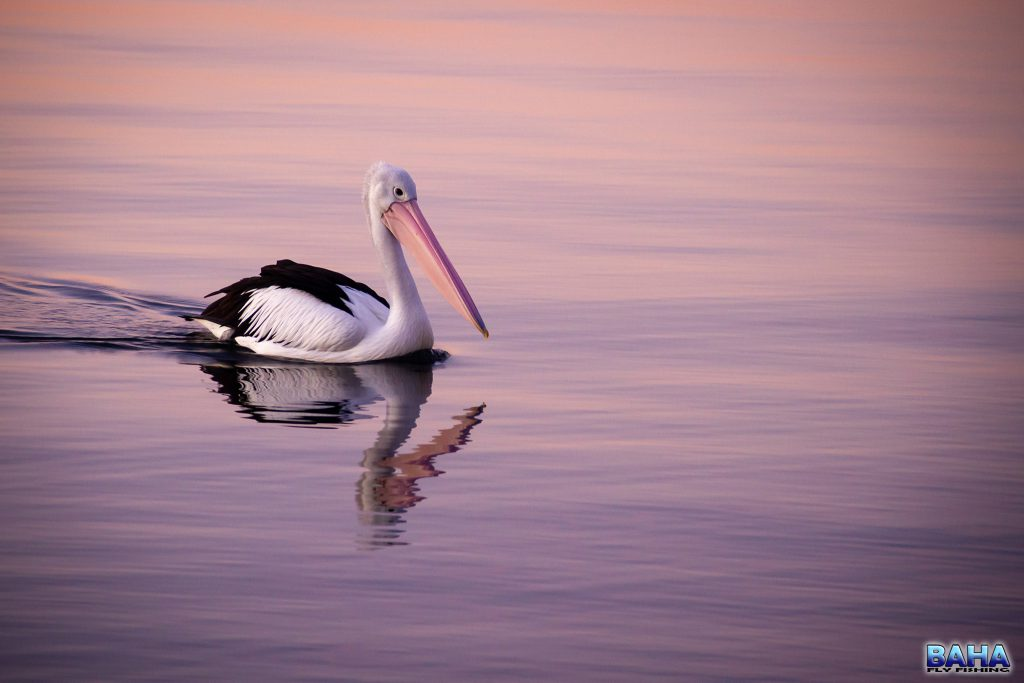 A pelican at sunset on Lake Macquarie