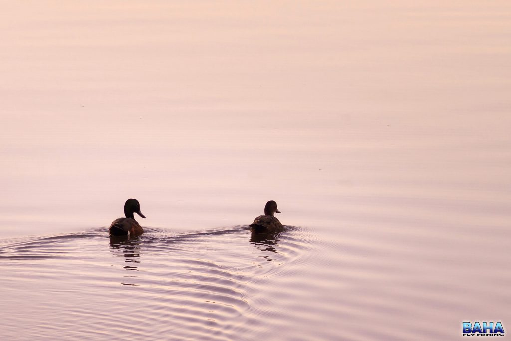Sunset ducks